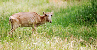 Saiga, antelope Royalty Free Stock Photo