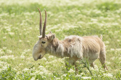 Saiga. Adult male saiga stands in the steppe Royalty Free Stock Image