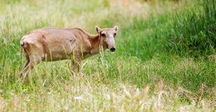 Saiga, Antelope Royalty Free Stock Photo
