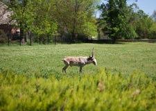 Saiga antelope on the green lawn Stock Photos