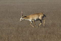 Saiga antelope male running across Royalty Free Stock Photo