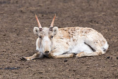 Saiga antelope. Male saiga antelope (Saiga tatarica) in spring colouration Stock Photo