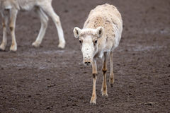 Saiga antelope (Saiga tatarica). Female saiga antelope (Saiga tatarica) in winter colouration Stock Images