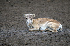 Saiga antelope (Saiga tatarica). Female saiga antelope (Saiga tatarica) in winter colouration Stock Image