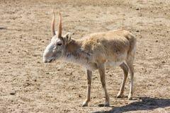 Saiga antelope (Saiga tatarica) Stock Photography