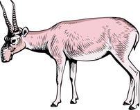 Saiga Antelope (tatarica) Royalty Free Stock Photography
