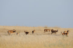 Saiga antelopes herd in morning steppe Royalty Free Stock Photography