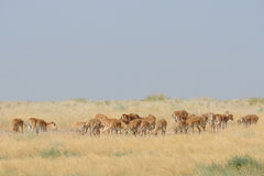 Saiga antelopes herd in morning steppe. Saiga antelopes (Saiga tatarica) herd in morning steppe. Federal nature reserve Mekletinskii, Kalmykia, Russia, August Stock Photo