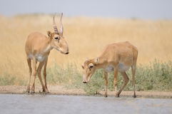 Saiga antelopes near the watering place in the morning. Saiga antelopes (Saiga tatarica) near the watering place in the morning. Federal nature reserve Stock Images