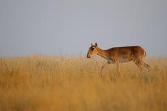 Saiga antilop i morgonstäpp Arkivbild