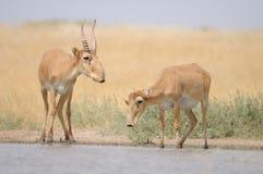Saiga-Antilopen nahe der Wasserentnahmestelle morgens Stockbilder