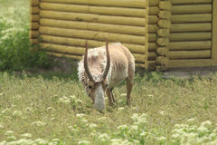 Saiga eats. Adult male saiga eats some grass in the field at yellow house Stock Image