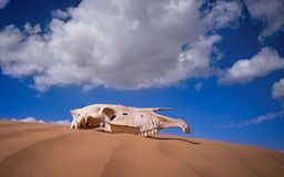 Saiga skull in the desert. animals of the red book. Sunny day royalty free stock images