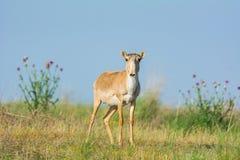 Saiga tatarica. Chyornye Zemli Black Lands Nature Reserve,  Kalmykia region, Russia Royalty Free Stock Image