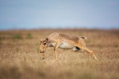 Saiga tatarica is listed in the Red Book. Chyornye Zemli Black Lands Nature Reserve, Kalmykia region, Russia stock image