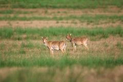Saiga tatarica is listed in the Red Book. Chyornye Zemli Black Lands Nature Reserve, Kalmykia region, Russia stock photo