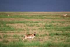 Saiga tatarica is listed in the Red Book. Chyornye Zemli Black Lands Nature Reserve, Kalmykia region, Russia royalty free stock image