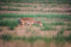 Saiga tatarica is listed in the Red Book. Chyornye Zemli Black Lands Nature Reserve, Kalmykia region, Russia stock images