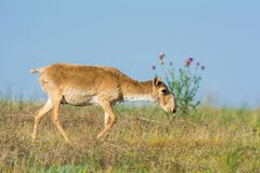 Saiga tatarica. Chyornye Zemli Black Lands Nature Reserve,  Kalmykia region, Russia Stock Images