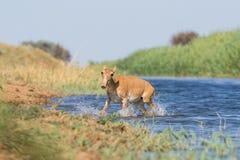Saigas på ett brunnsortdrinkvatten och att bada under stark värme och torka arkivbild