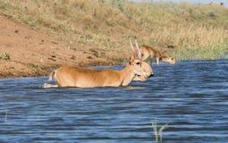 Saigas på ett brunnsortdrinkvatten och att bada under stark värme och torka royaltyfri foto