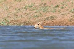 Saigas på ett brunnsortdrinkvatten och att bada under stark värme och torka arkivfoton