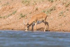 Saigas på ett brunnsortdrinkvatten och att bada under stark värme och torka royaltyfri fotografi