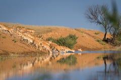 Saigas på ett brunnsortdrinkvatten och att bada under stark värme och torka arkivfoto