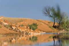 Saigas på ett brunnsortdrinkvatten och att bada under stark värme och torka royaltyfria foton