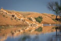 Saigas på ett brunnsortdrinkvatten och att bada under stark värme och torka fotografering för bildbyråer