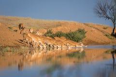 Saigas på ett brunnsortdrinkvatten och att bada under stark värme och torka royaltyfria bilder