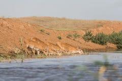 Saigas på ett brunnsortdrinkvatten och att bada under stark värme och torka arkivbilder