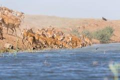 Saigas på ett brunnsortdrinkvatten och att bada under stark värme och torka royaltyfri bild