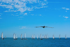 Sailboat race and pelican royalty free stock photo
