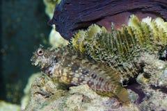 Sailfin algi Blennie (Salarias fasciatus) zdjęcie royalty free