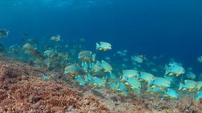Sailfin en Blubberlip-Snapper op een koraalrif Royalty-vrije Stock Foto