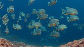 Sailfin en Blubberlip-Snapper op een koraalrif Stock Afbeelding