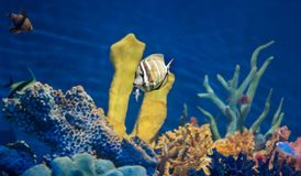Sailfin et amis de Desjardini dans l'aquarium Photos libres de droits