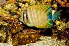Sailfin Fish Stock Photos