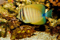 Sailfin fisk Arkivfoton