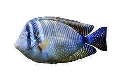 Sailfin-Geruch des Roten Meers Lizenzfreies Stockfoto