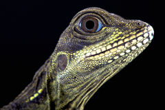 Sailfin jaszczurka (Hydrosaurus amboinensis) Zdjęcia Royalty Free