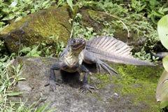 Sailfin jaszczurka, Hydrosaurus weberi Obrazy Stock