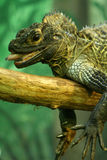 Sailfin Lizard Stock Photo