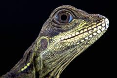 Sailfin lizard (Hydrosaurus amboinensis) Royalty Free Stock Photos