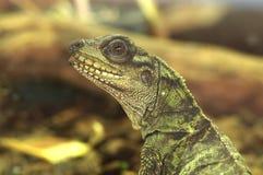 Sailfin Lizard. Hydrosaurus pustulatus; IUCN Red List 2006 Vulnerable Stock Photo