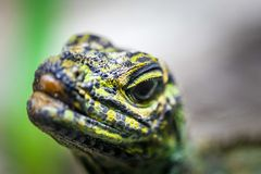 Sailfin Lizard looking straight into the camera - extreme closeup with focus on foreground. Royalty Free Stock Photo