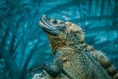 Free Sailfin Lizard Portrait On Blurred Background. Stock Image - 103325751