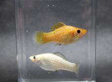 Sailfin molly fish, silver and orange color in the water glass box. the female is bigger. The ovary is more pronounced. A fish that live and feed on the Royalty Free Stock Photos
