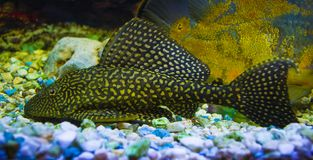 Sailfin Pleco Ψάρια Plecostumus Loricariidae Στοκ Φωτογραφία